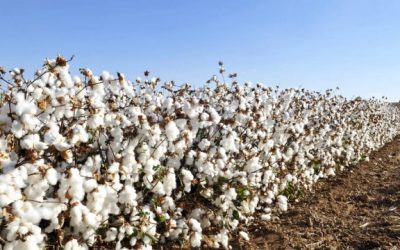 Congressional politics hurts cotton farmers