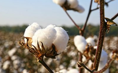 NCC: Bring Cotton Back as Title I Commodity