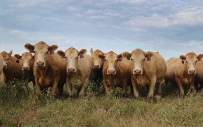 Report: More cattle in Texas, U.S.