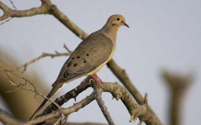 Texas Dove Hunting Season Outlook Promising