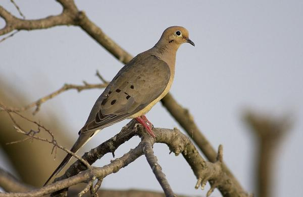 Texas Dove Hunting Season Outlook Promising