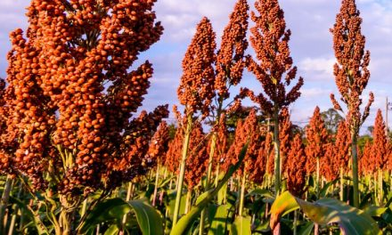 In new sign of trade battle, China slaps U.S. sorghum producers with 179 percent deposit