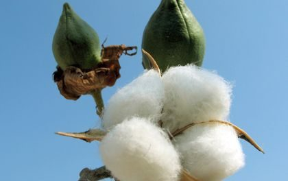 Eighty-cent cotton is within sight