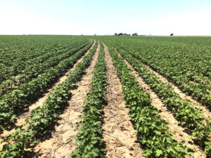 Dryland cotton suffering while irrigated cotton looks good