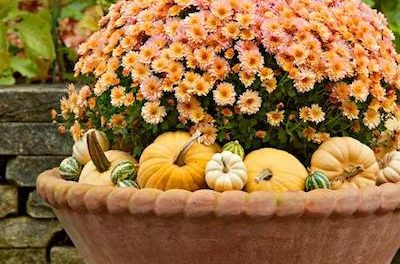All About Fall Mums