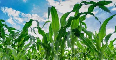 Corn Outlook – Look past bearish USDA reports