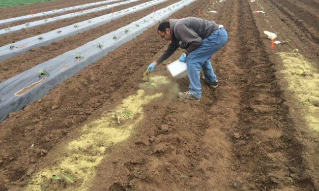 A&M AgriLife expands research on artichokes as commercial crop for Texas