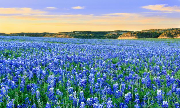 Horticulturist: Grow bluebonnets instead of picking them